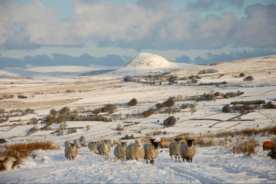Slemish Mountain in winter time with sheep